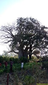 Oldest Baobab Trees