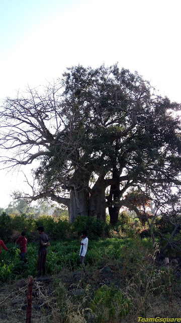 Oldest Baobab Trees