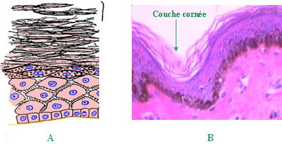 pavimenteux stratifiés avec couche cornée
