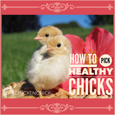 Tips for Selecting Healthy Chicks  via The Chicken Chick®