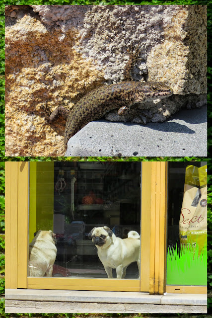 """Wildlife"" in Lloret de Mar, Costa Brava, Spain - Lizard and Pug"