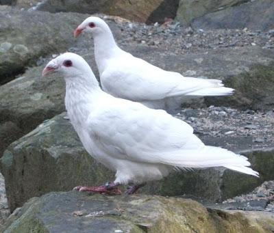 Franconian Bagdad - white pigeon