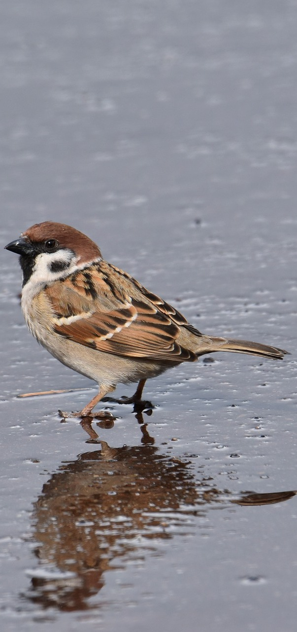A sparrow getting feet wet.