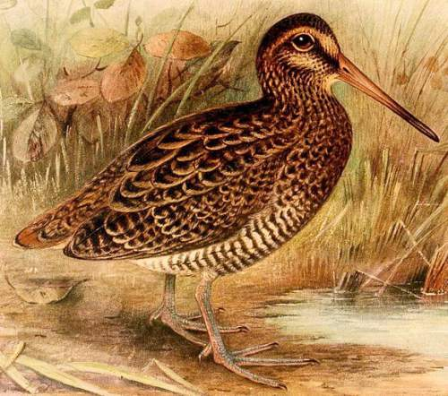 Indian birds - Image of Wood snipe - Gallinago nemoricola
