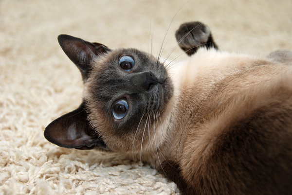 How to Choose Siamese Cat Names - 2016 Siamese Cats