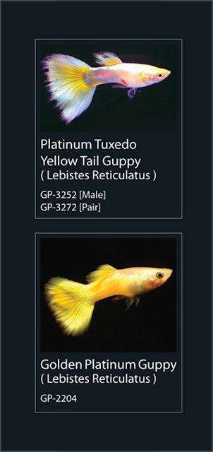 5.  Platinum Tuzedo Yellow Tail Guppy Nama Latin Lebistes Reticulatus  6.  Golden Platinum Guppy Nama Latin Lebistes Reticulatus