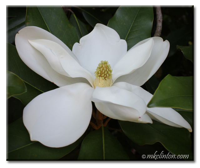 Southern magnolia flower
