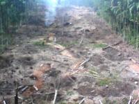 pembukaan lahan untuk menanam gaharu