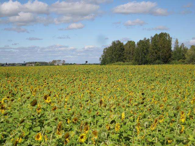 поле подсолнухов
