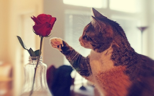 Cute Cat with Rose Flower