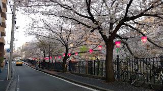 Oka River Promenade hanami