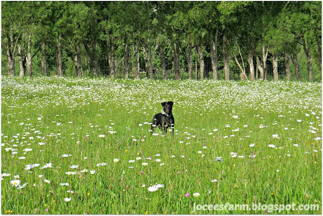 Daisy's and dogs @ Jocees Farm