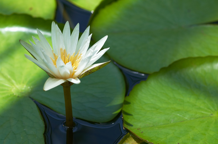 Where Can I Buy Water Lily