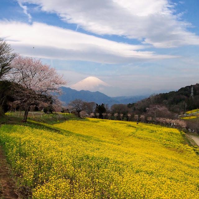 篠窪 富士見塚 富士山 菜の花 春めき桜