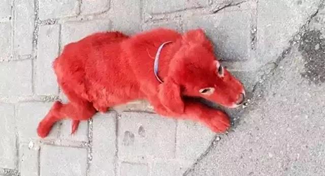 Κουτάβι βαμμένο με κόκκινη μπογιά βρέθηκε σε καταυλισμό στο Σχηματάρι