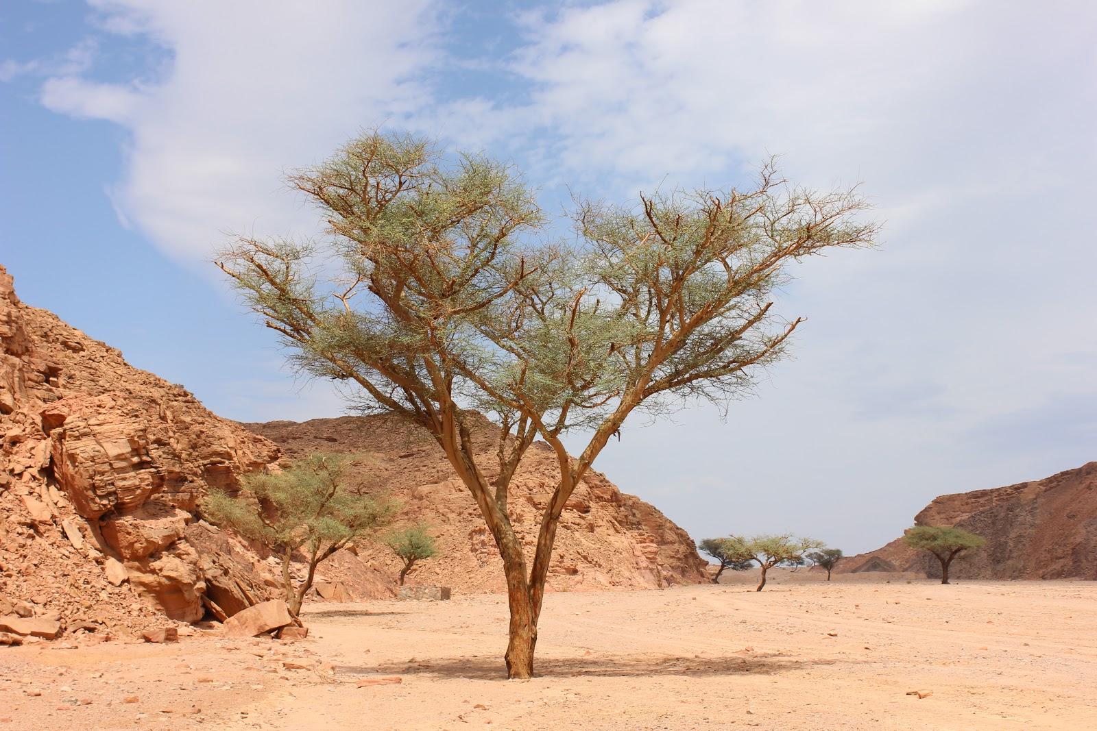 アインカドラ砂漠オアシスのアカシアの木