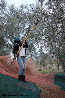 raccolta delle olive Harvest of the Olives Tuscany