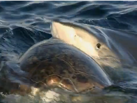 Ruthless Tiger Shark Attacks Turtle - YouTube |Tiger Sharks Attack Turtle