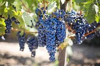 Manfaat buah anggur untuk kesehatan.