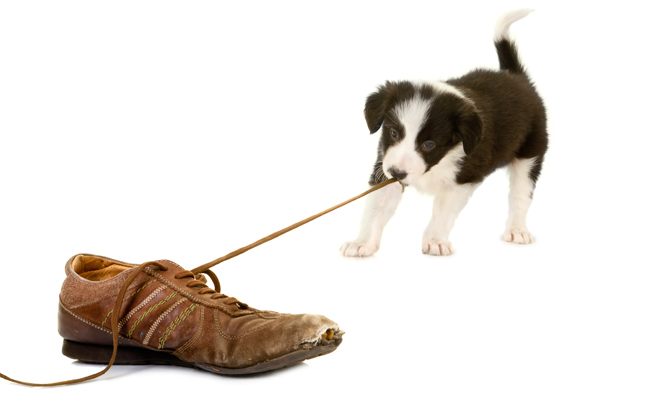 Jak oduczyć psa gryzienia butów?