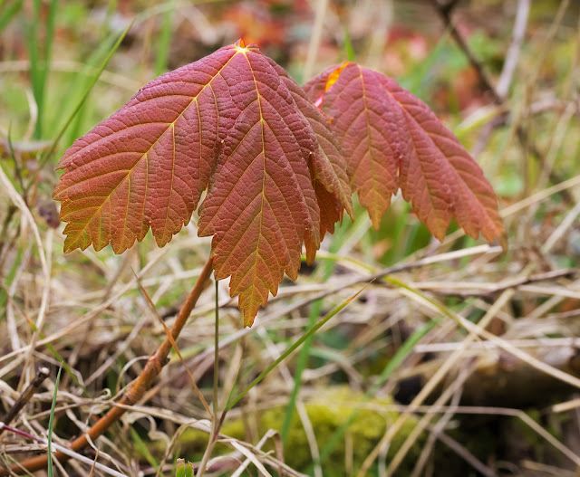 Young sycamore plant