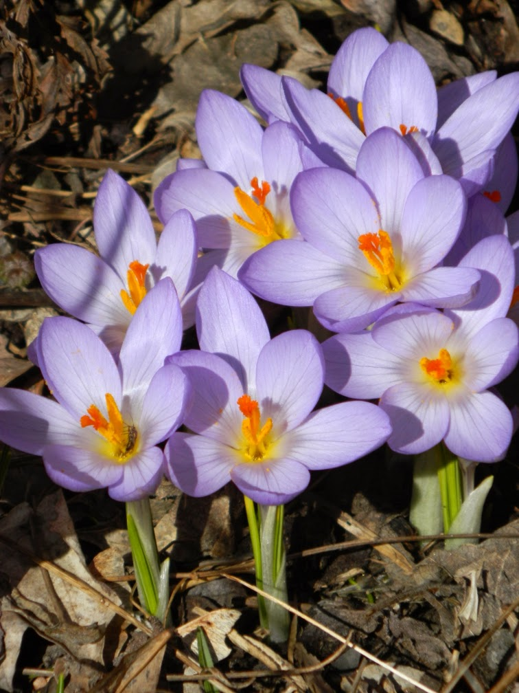 Pale blue crocus spring blooms Toronto Botanical Garden by garden muses-not another Toronto gardening blog
