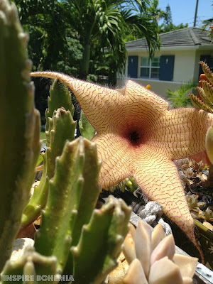 Asclepiadaceae, cactus, Stapelia, succulent, succulents, flower, flowers, garden, unique flower, smelly flower, carrion flower, starfish flower, African flower, plants, gardening, nature, Stapelia cactus flower, Stapelia grandiflora, Stapelia gigantea, Stapelia scitula, Stapelia paniculata, Stapelia leendertziae, Stapelia hirsuta
