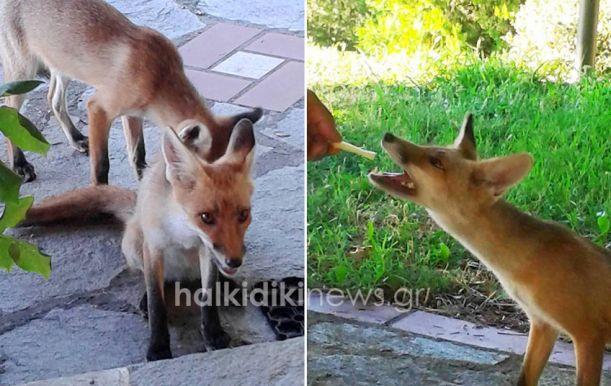 Χαλκιδική: Τι γυρεύουν τρία αλεπουδάκια στο χωριό της Μεγάλης Παναγίας; (ΦΩΤΟ)