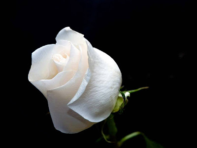 White Rose Normal Resolution HD Wallpaper 6