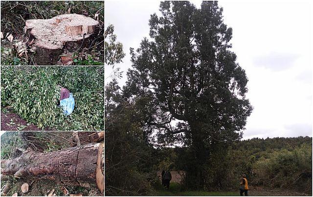 Centenario árbol sagrado Mapuche-Huilliche fue talado en Puerto Octay
