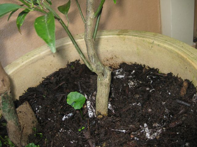 how to look after citrus trees