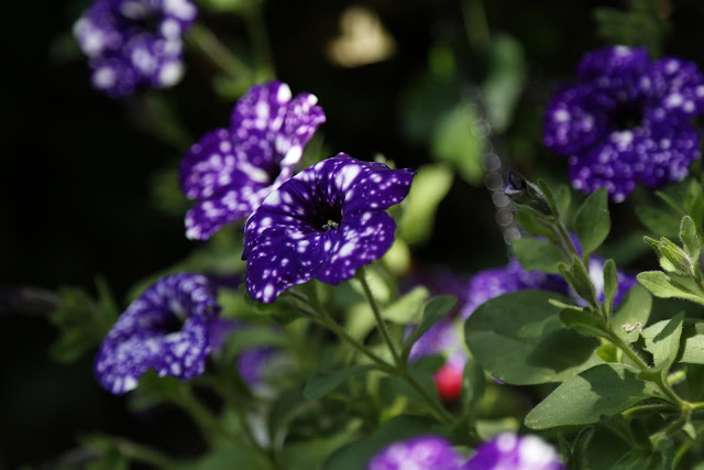 Petunia 'Night Sky' Flowers