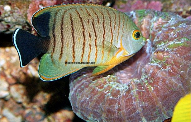 ikan Red Stripe Angelfish