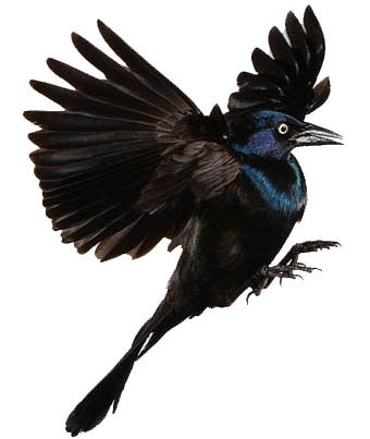 Tattoo Symbolism Blackbird Tattoo Symbolism