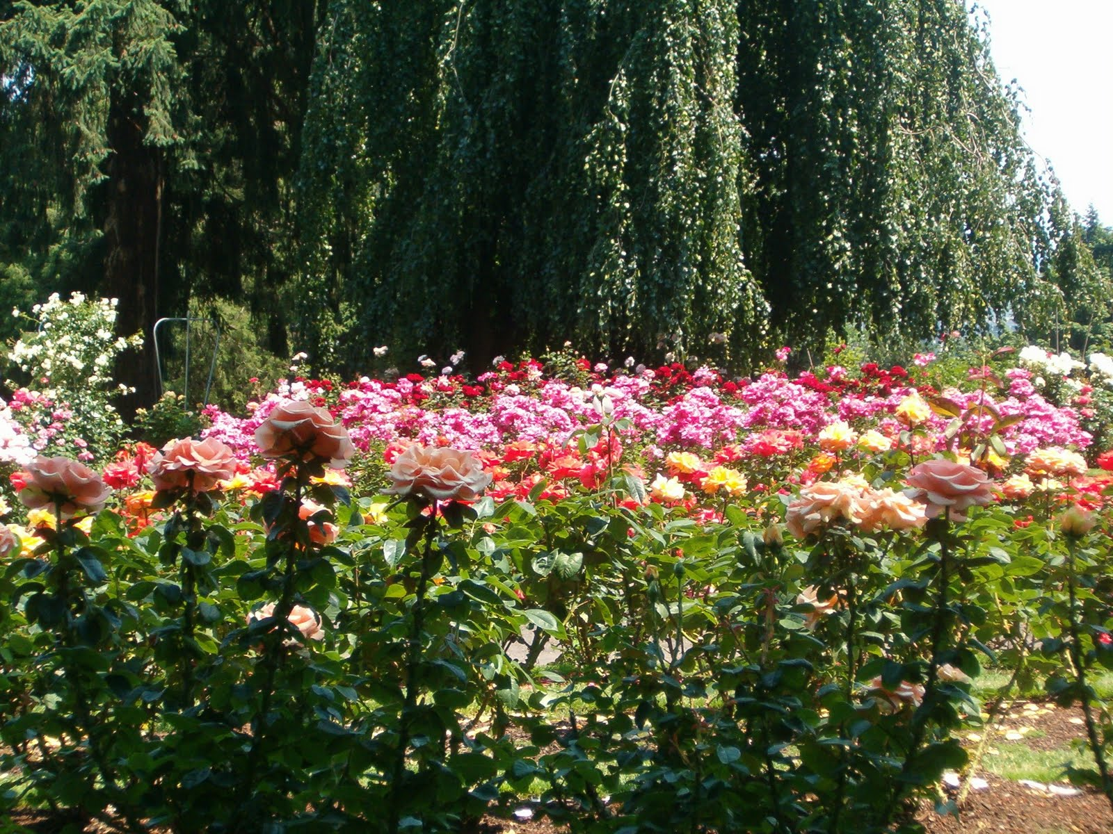 Roses In Garden: Julie's Journeys: Portland, Oregon: International Rose