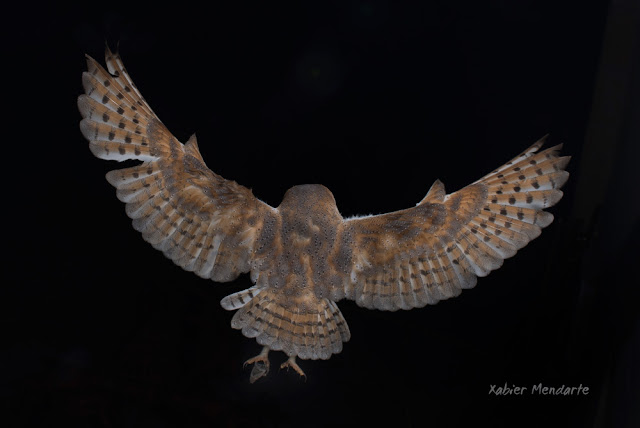 Hontza zuria, Tyto alba, Lechuza