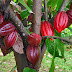 Colombia alcanza record en producción de cacao