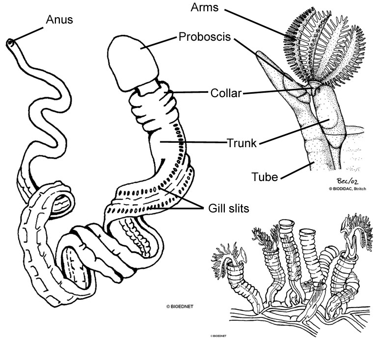 Eternal Menagerie: The early evolution of Echinoderms