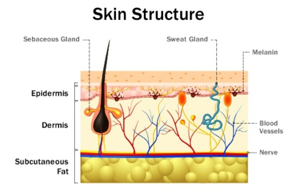 Skin Structure Illustration
