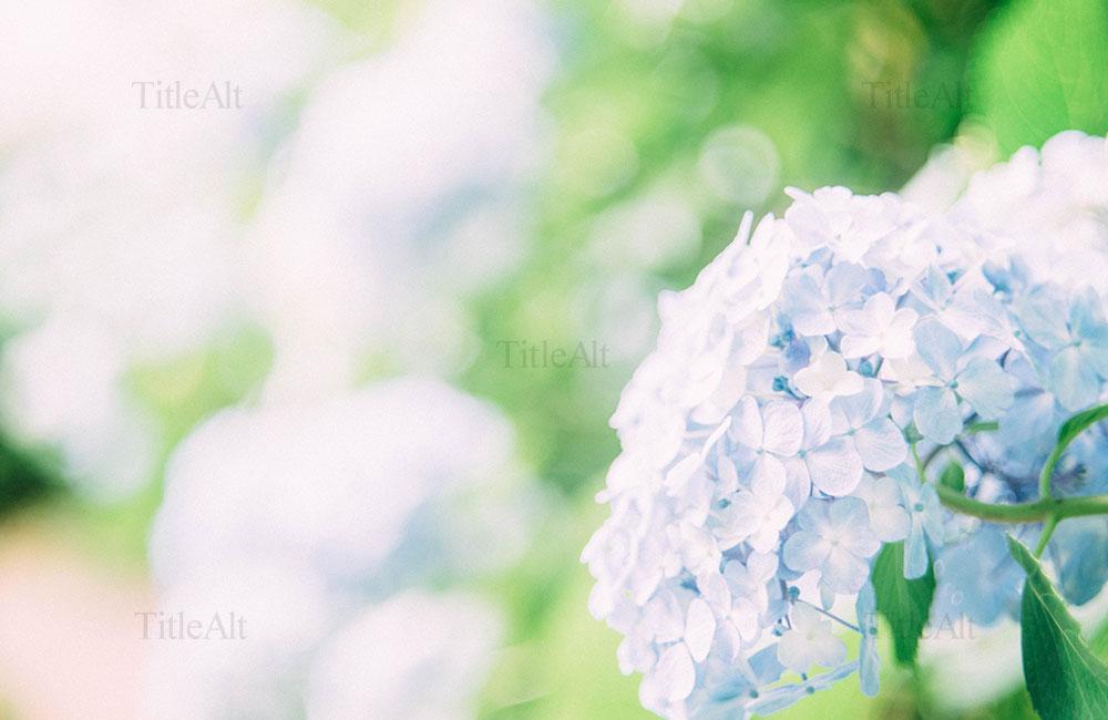 妙楽寺の紫陽花の写真