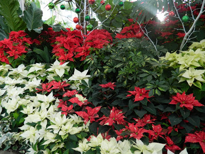 red and white poinsettias at allan gardens christmas flower show 2012 by garden muses: a toronto gardening blog