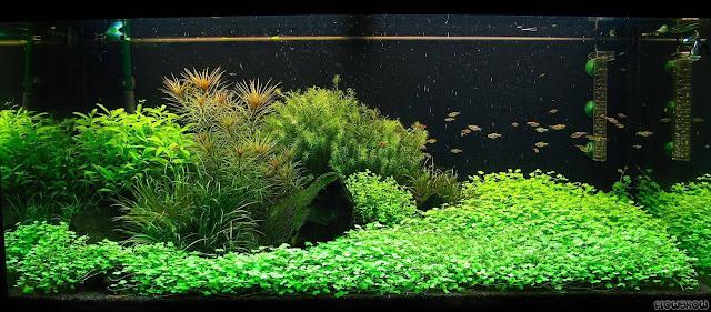 Hồ thủy sinh trồng rau má hương xanh mướt
