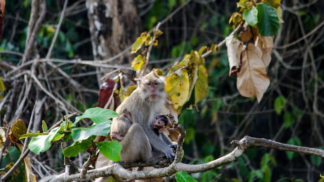 monyet pulo manuk bayah sawarna
