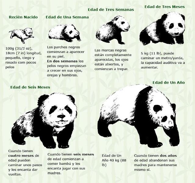 El crecimiento del Panda