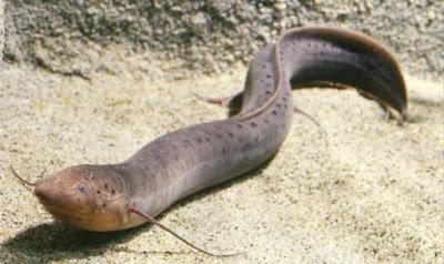 Tahukah Kamu? Inilah Ikan Yang Diceritakan Dalam Surah Al-Kahfi, Ikan Yang Bisa Hidup Di Darat