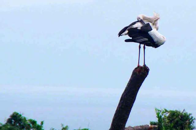 bird, grooming, stork, Okinawa