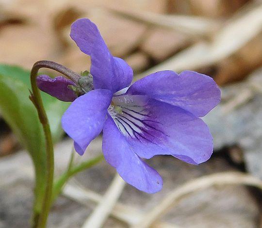 Fiołek leśny (Viola reichenbachiana).