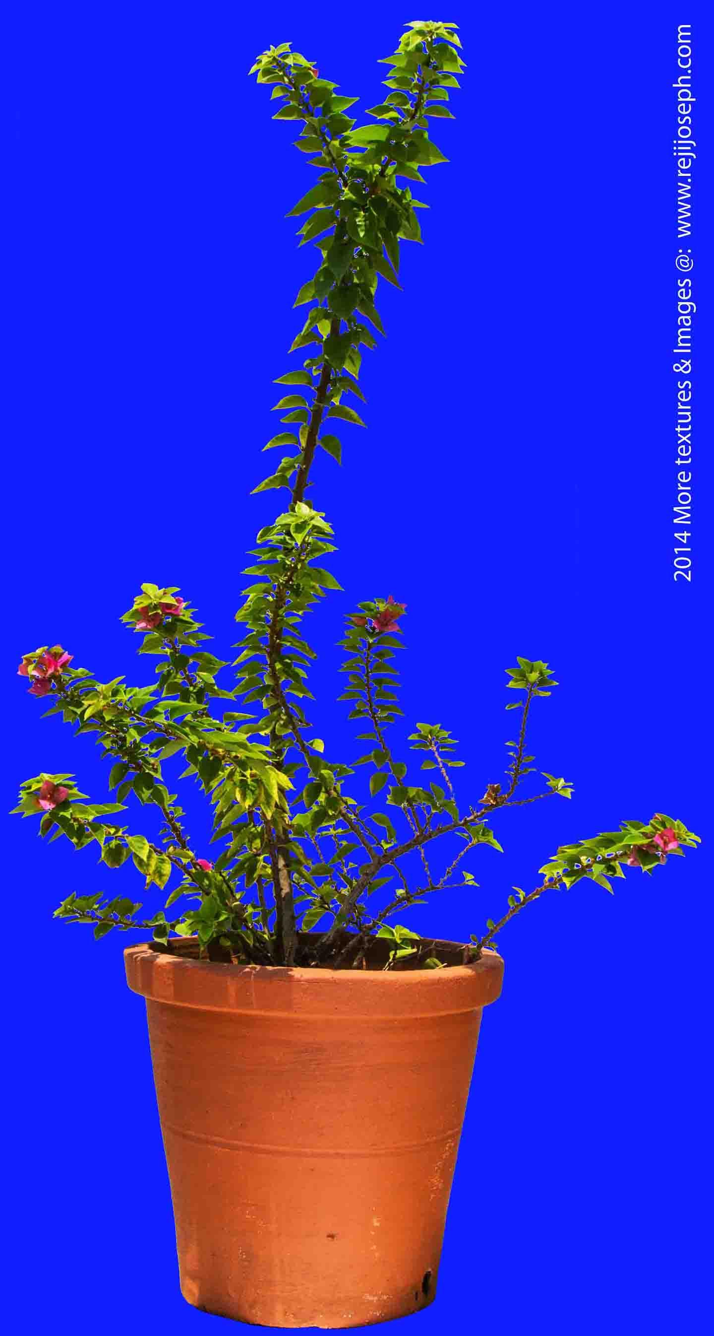 Bougainvillea Garden Plant Texture 00002