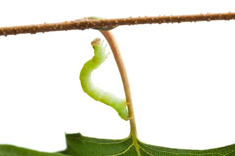 Tree pest inchworm cankerworm infestation