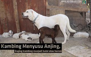 Kambing Menyusu Anjing, Daging Kambing Halal atau Haram?